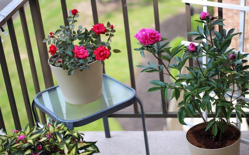 Lựa chọn cây phong thủy để trang trí ban công chung cư